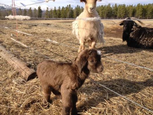 baby goats- aurora