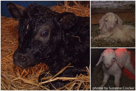 Newborn calf and two kids