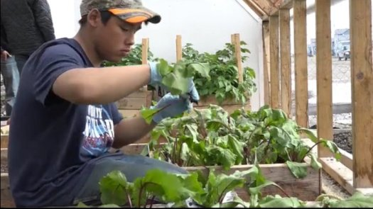 Youth involvement in the Arviat Greenhouse - Arviat Wellness