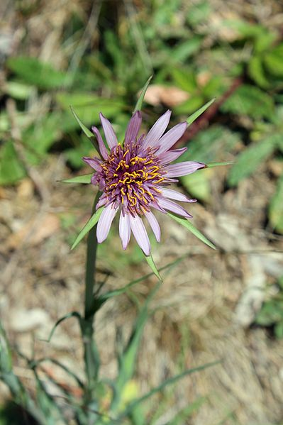 Purple Salsify flower- Wikimedia Commons
