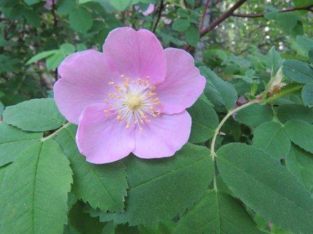 Wild-Rose-close-up