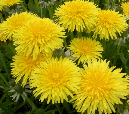 Dandelion flowers are edible