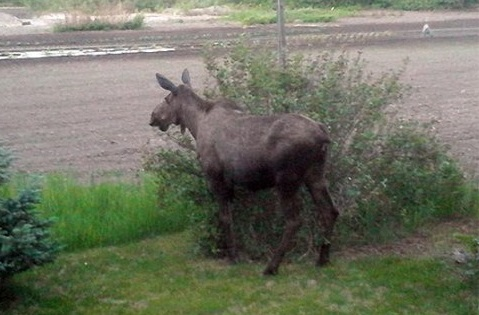 The Moose is Loose ... and Looking for Popcorn!