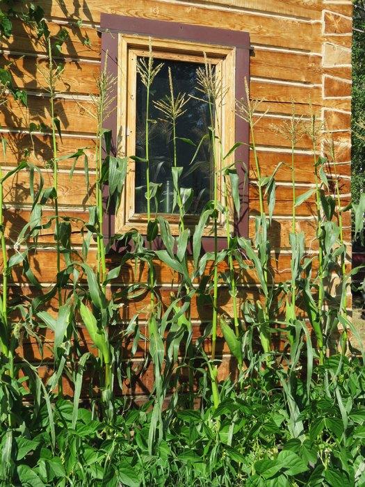 Sebastians-corn-wide-shot