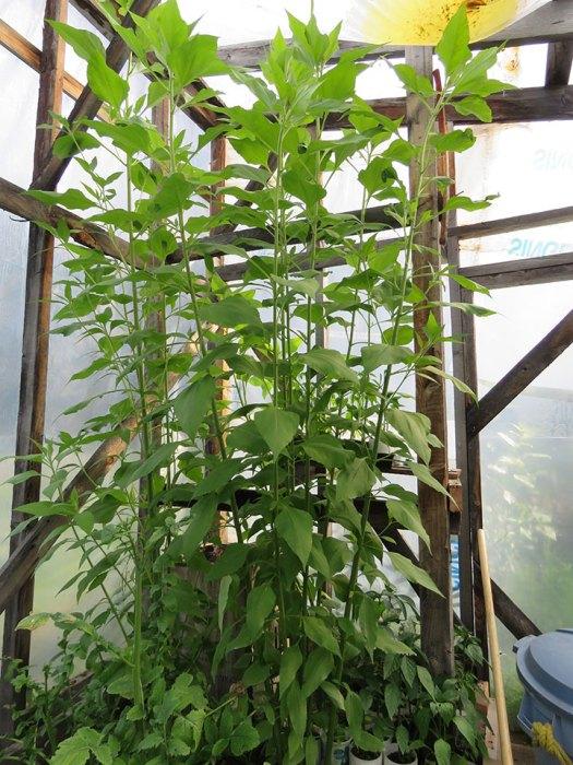 jeruselum-artichokes