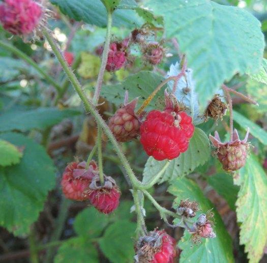 wild_raspberries[1]