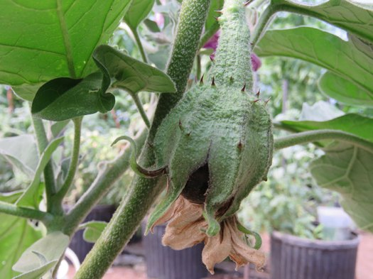 Grants-eggplant-early-fruit