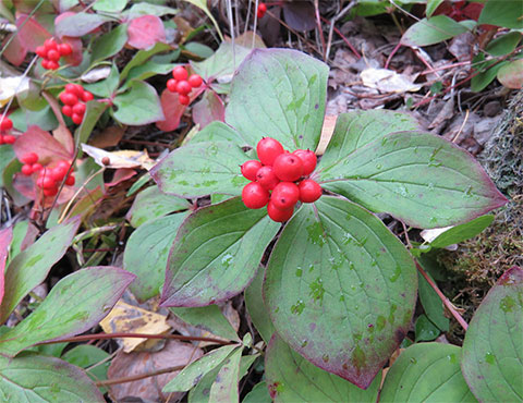 Dogberry (Bunchberry) -  A Natural Pectin