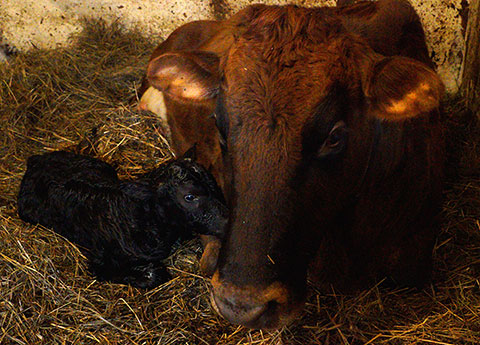 Klondike Valley Creamery welcomes the newest member of the team. Photo by Suzanne Crocker.