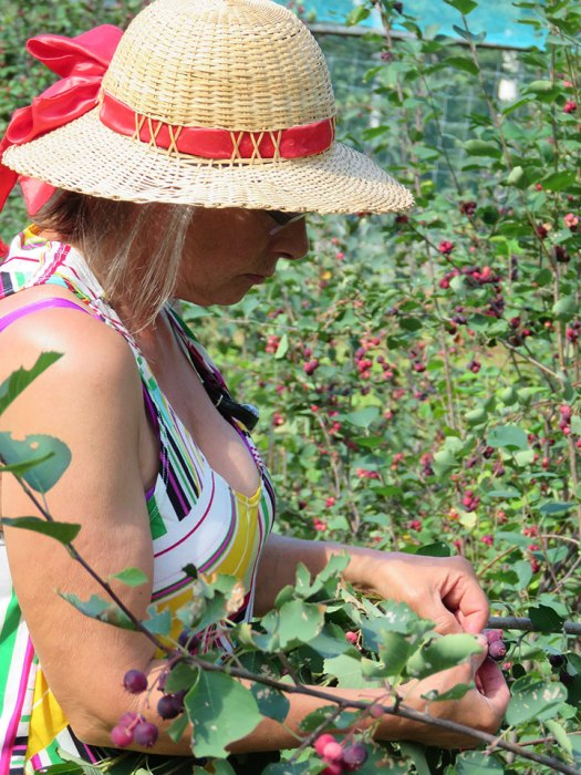 ed0feed6ff9dd3 Diana McCready of Emu Creek Farms picking Saskatoon berries. Photo by  Suzanne Crocker.