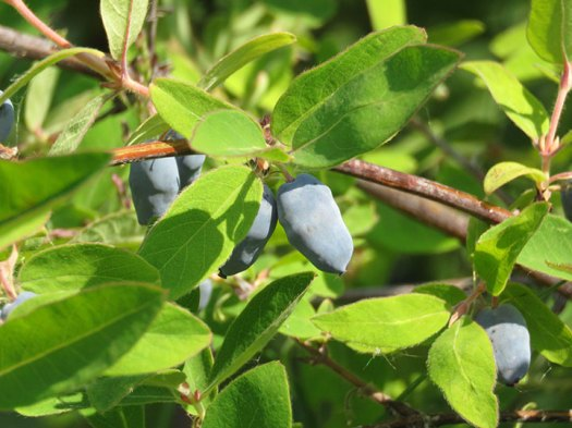Close up of domestic haskap berries on the bush. Photo by Suzanne Crocker. From FirstWeEat.ca, the Food Security North of 60 website supporting First We Eat, a documentary by Yukon filmmaker Suzanne Crocker about eating only locally-grown foods in in Dawson City, Yukon, in Canada's North, for one year.