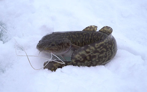 Suzanne's Blog: Burbot in Exchange for Sunshine