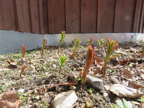 Fireweed Shoots, Asparagus of the North!