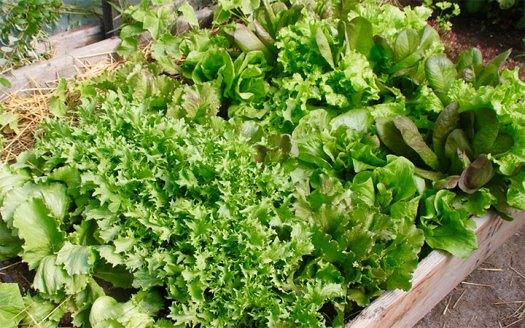 sister_lettuce