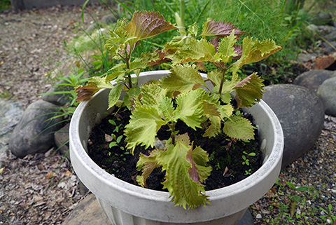 Suzanne's Blog: Exotic Shiso Grows in the Far North!