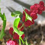 Strawberry blite