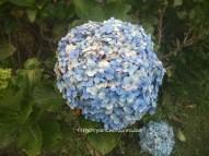 Masamba biru