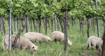 Schafe in der Ried Rosengarten