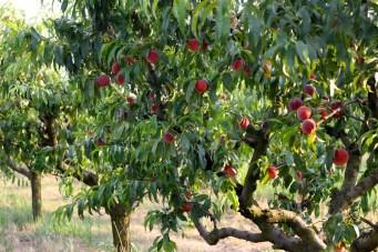 Pfirsichbaum Sorte: Red haven