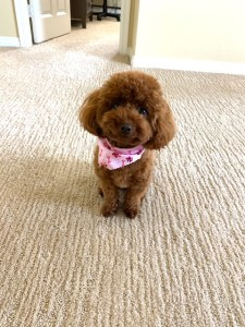 red maltipoo puppy