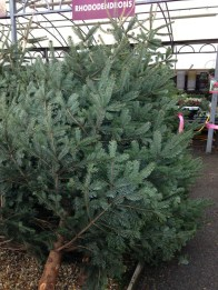 The tree I wanted to get, which was deemed too big!