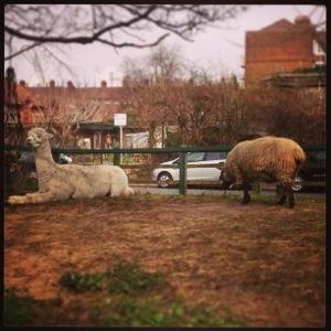 Farm animals in London town
