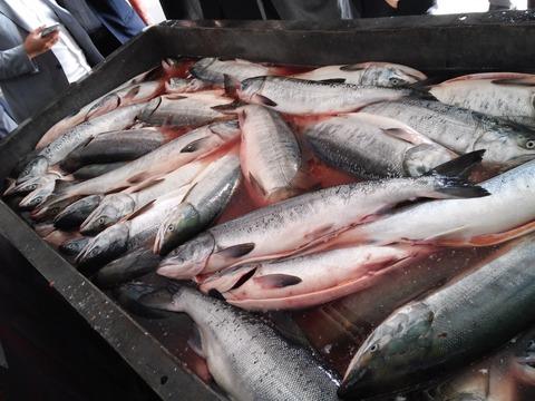不発だった北海道の秋サケ漁