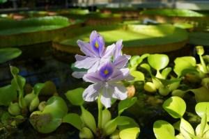 ホテイアオイは花も綺麗