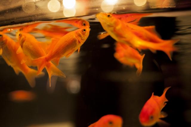 金魚に餌をやるのは楽しい