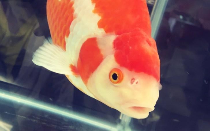 和金ってどんな金魚?