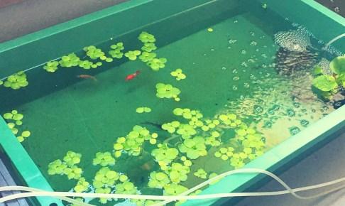 プラ舟で魚を飼育