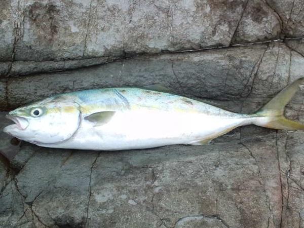 ジグパラで釣れる魚は?