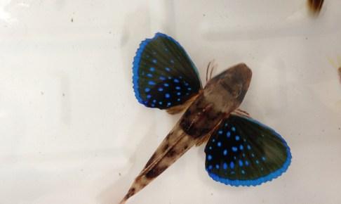 ホウボウの鮮やかな胸鰭