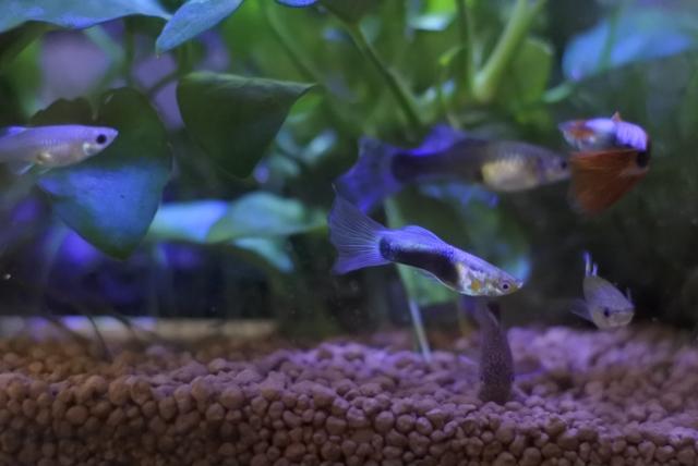グッピーの稚魚を育てる