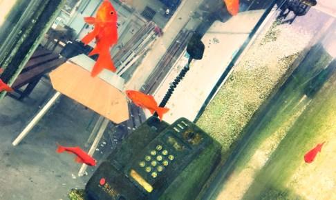 大和郡山は金魚の産地
