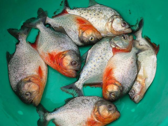 ピラニアの釣り