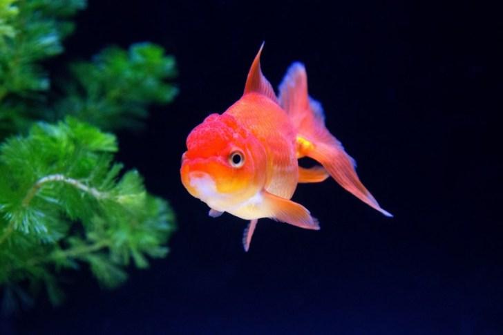 金魚は水草を食べてしまう