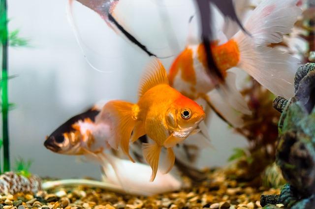 金魚の飼い方を解説