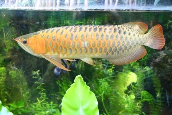 アジアアロワナってどんな魚?