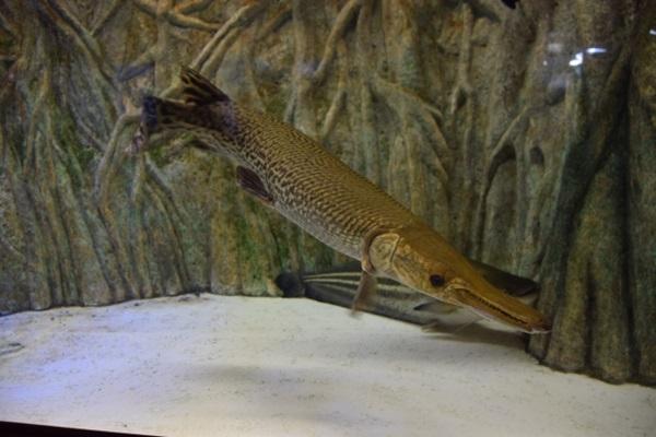 アリゲーターガーは古代魚の代表種
