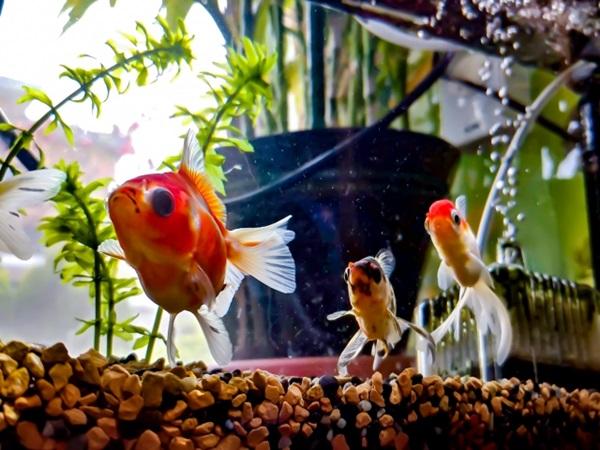 金魚の病気は早期発見が重要