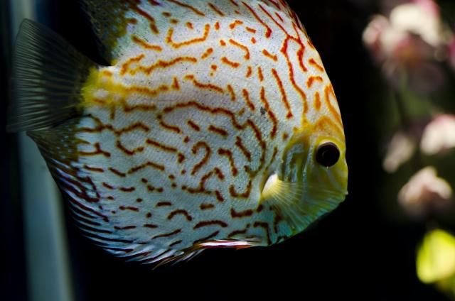 90cm水槽におすすめの熱帯魚