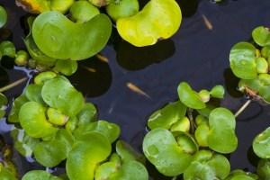 浮き草の種類