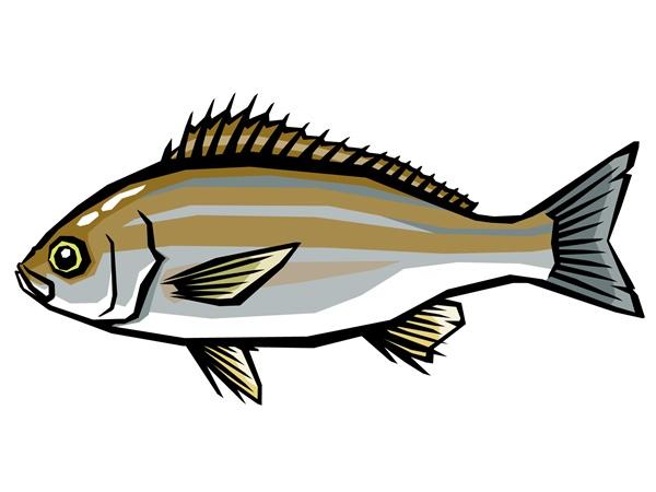 イサキの幼魚は可愛い縞模様