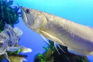 シルバーアロワナってどんな魚?