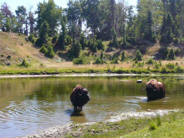 bisons dans le zoo de st félcien - Quebec