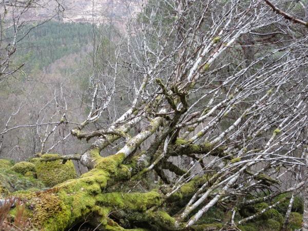 arbre dans le Glen Affric