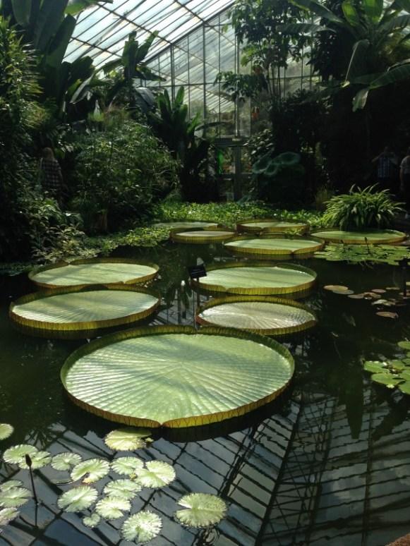 nénuphars au Royal Botanic Garden - Edimbourg