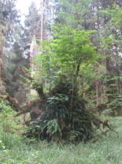 Hoh Rain Forest