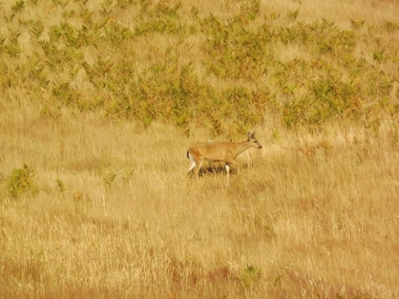 biche sur South Beach - American Camp sur San Juan Island - USA